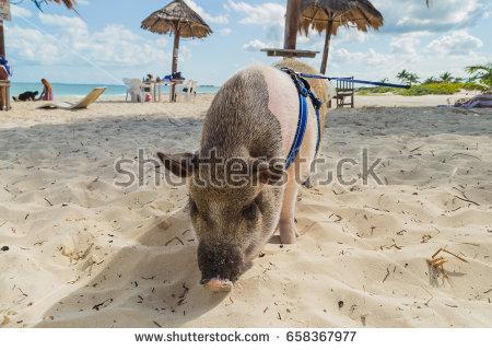 pig-on-the-beach-dirty-beach.jpg.c562e5bf97cf9ac2b505afd17e42f53d.jpg